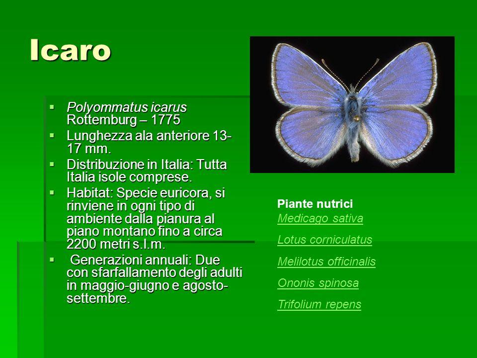 Icaro Polyommatus icarus Rottemburg – 1775 Polyommatus icarus Rottemburg – 1775 Lunghezza ala anteriore 13- 17 mm. Lunghezza ala anteriore 13- 17 mm.