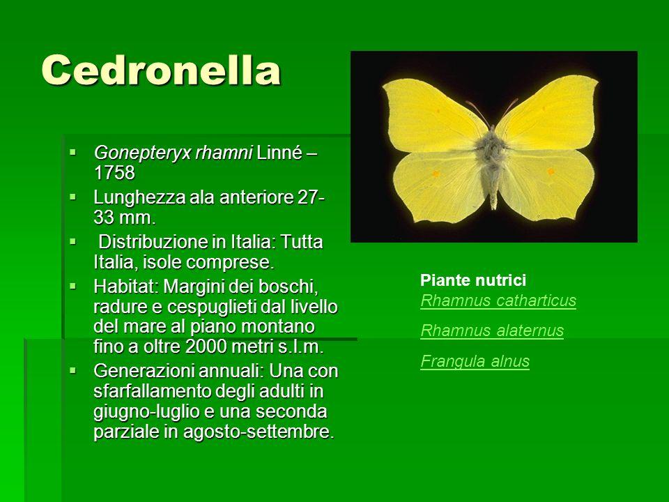 Cedronella Gonepteryx rhamni Linné – 1758 Gonepteryx rhamni Linné – 1758 Lunghezza ala anteriore 27- 33 mm. Lunghezza ala anteriore 27- 33 mm. Distrib