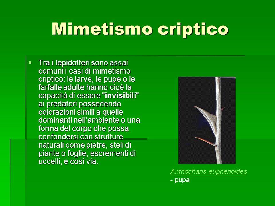 Mimetismo criptico Tra i lepidotteri sono assai comuni i casi di mimetismo criptico: le larve, le pupe o le farfalle adulte hanno cioè la capacità di