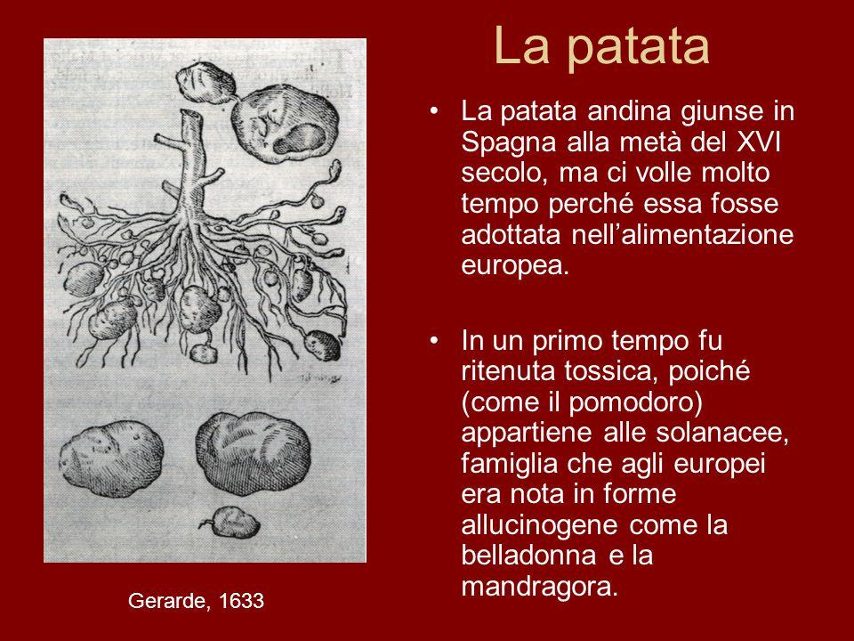 La patata La patata andina giunse in Spagna alla metà del XVI secolo, ma ci volle molto tempo perché essa fosse adottata nellalimentazione europea. In