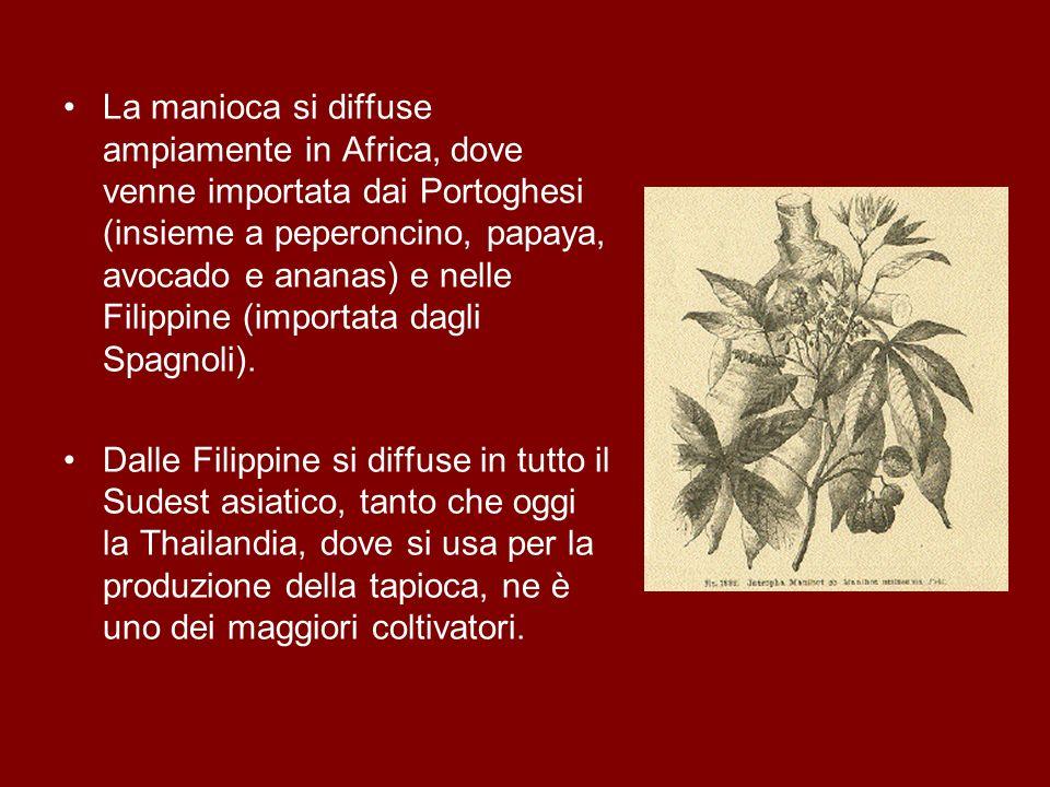 La manioca si diffuse ampiamente in Africa, dove venne importata dai Portoghesi (insieme a peperoncino, papaya, avocado e ananas) e nelle Filippine (i