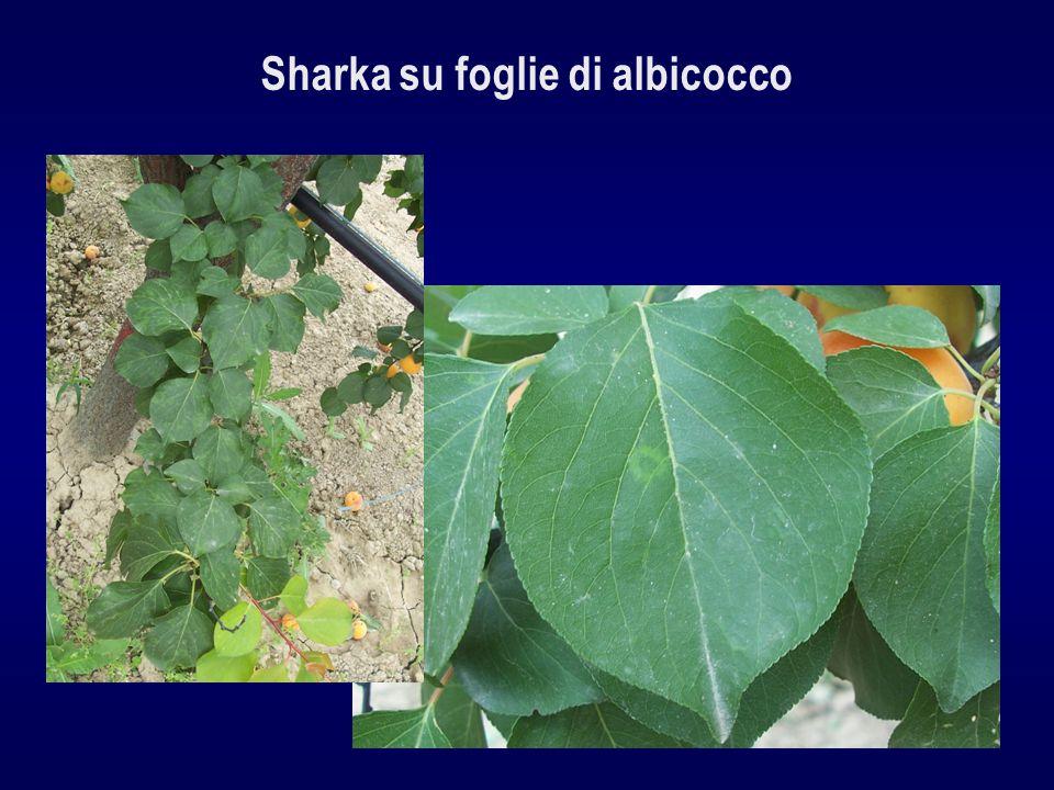Sharka su foglie di albicocco