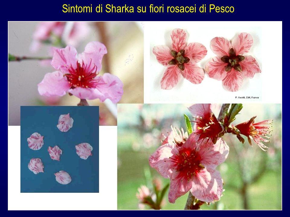 Sintomi di Sharka su fiori rosacei di Pesco