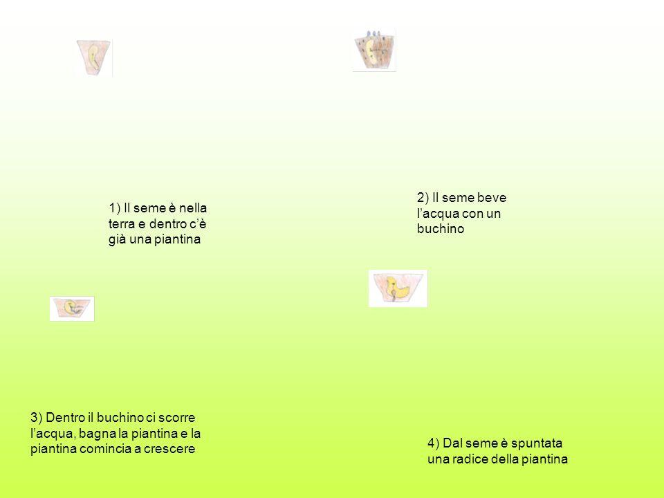 5) Il seme si è aperto 6) È spuntata la piantina, per crescere mangia le sostanze e lacqua 7) La sostanza è attaccata sul seme e quando gli dai lacqua si scioglie e sale sulla piantina