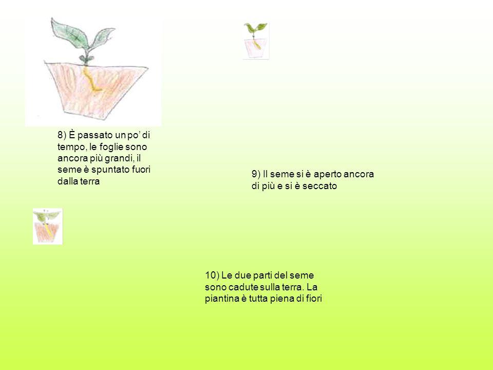 8) È passato un po di tempo, le foglie sono ancora più grandi, il seme è spuntato fuori dalla terra 9) Il seme si è aperto ancora di più e si è seccat