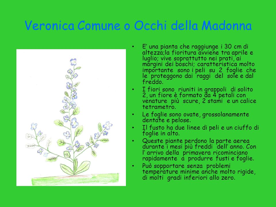Veronica Comune o Occhi della Madonna E una pianta che raggiunge i 30 cm di altezza;la fioritura avviene tra aprile e luglio; vive soprattutto nei pra