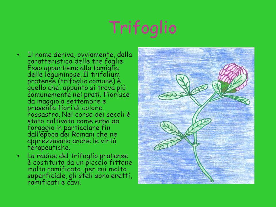 Trifoglio Il nome deriva, ovviamente, dalla caratteristica delle tre foglie. Esso appartiene alla famiglia delle leguminose. Il trifolium pratense (tr