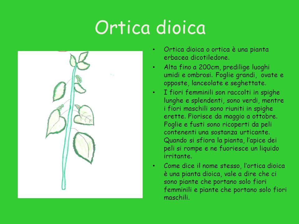 Ortica dioica Ortica dioica o ortica è una pianta erbacea dicotiledone. Alta fino a 200cm, predilige luoghi umidi e ombrosi. Foglie grandi, ovate e op