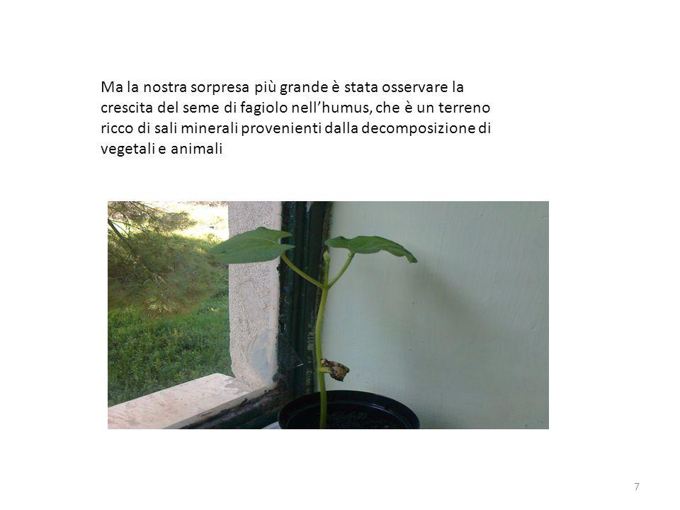 8 Appena sono nate le due prime foglie, si chiamano appunto dicotoledoni, abbiamo osservato che il fusto era più robusto degli altri che avevamo piantato.