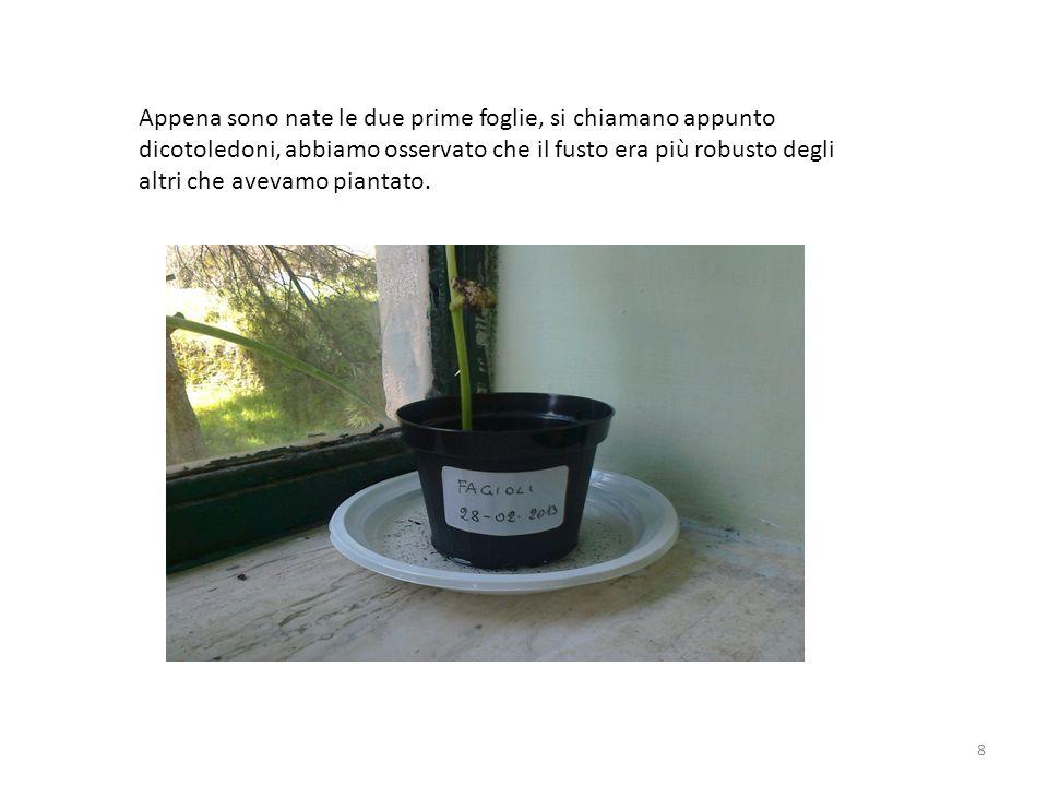 8 Appena sono nate le due prime foglie, si chiamano appunto dicotoledoni, abbiamo osservato che il fusto era più robusto degli altri che avevamo piant