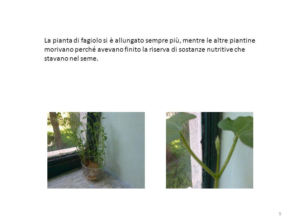9 La pianta di fagiolo si è allungato sempre più, mentre le altre piantine morivano perché avevano finito la riserva di sostanze nutritive che stavano