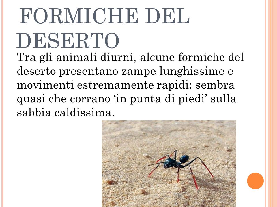FORMICHE DEL DESERTO Tra gli animali diurni, alcune formiche del deserto presentano zampe lunghissime e movimenti estremamente rapidi: sembra quasi ch