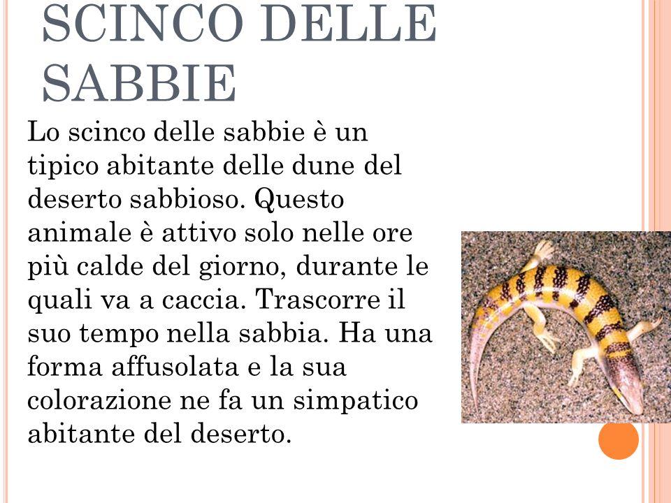 SCINCO DELLE SABBIE Lo scinco delle sabbie è un tipico abitante delle dune del deserto sabbioso. Questo animale è attivo solo nelle ore più calde del