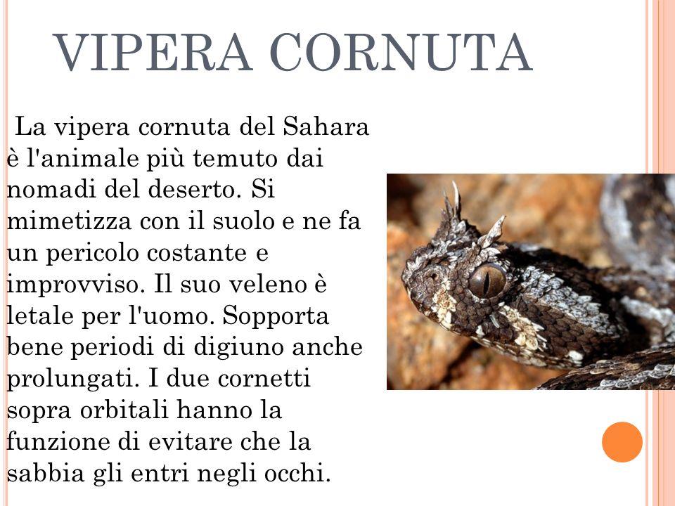 VIPERA CORNUTA La vipera cornuta del Sahara è l'animale più temuto dai nomadi del deserto. Si mimetizza con il suolo e ne fa un pericolo costante e im
