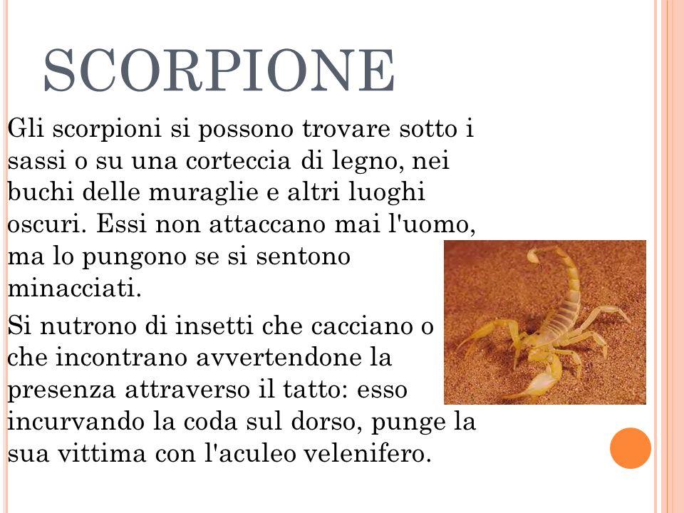 SCORPIONE Gli scorpioni si possono trovare sotto i sassi o su una corteccia di legno, nei buchi delle muraglie e altri luoghi oscuri. Essi non attacca