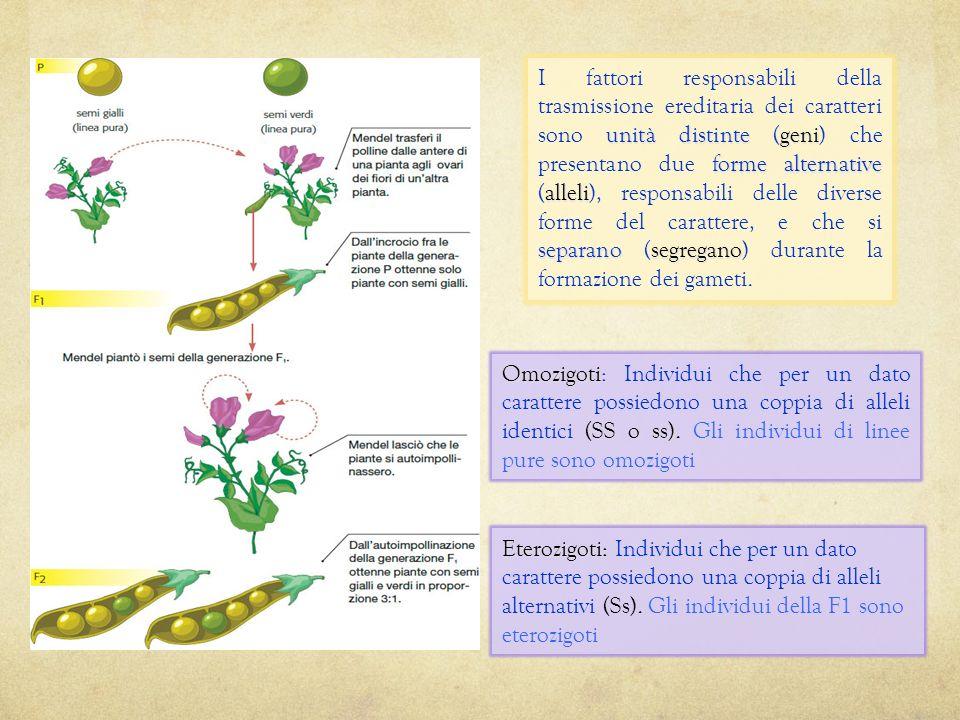 Autoimpollinazione della F1: Autoimpollinazione della F1: la primavera successiva i semi della F1 vengono ripiantati e le piante derivanti lasciate au