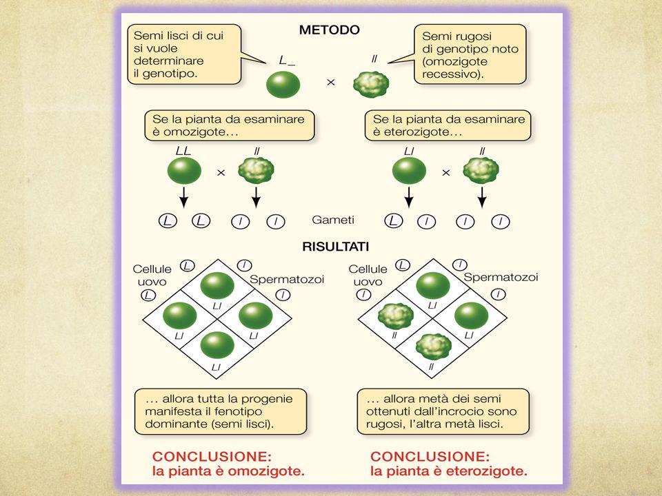 REINCROCIO Metodo per verificare se un dato individuo che mostra tratti dominanti è omozigote (SS) o eterozigote (Ss). Si incrocia lindividuo con un o