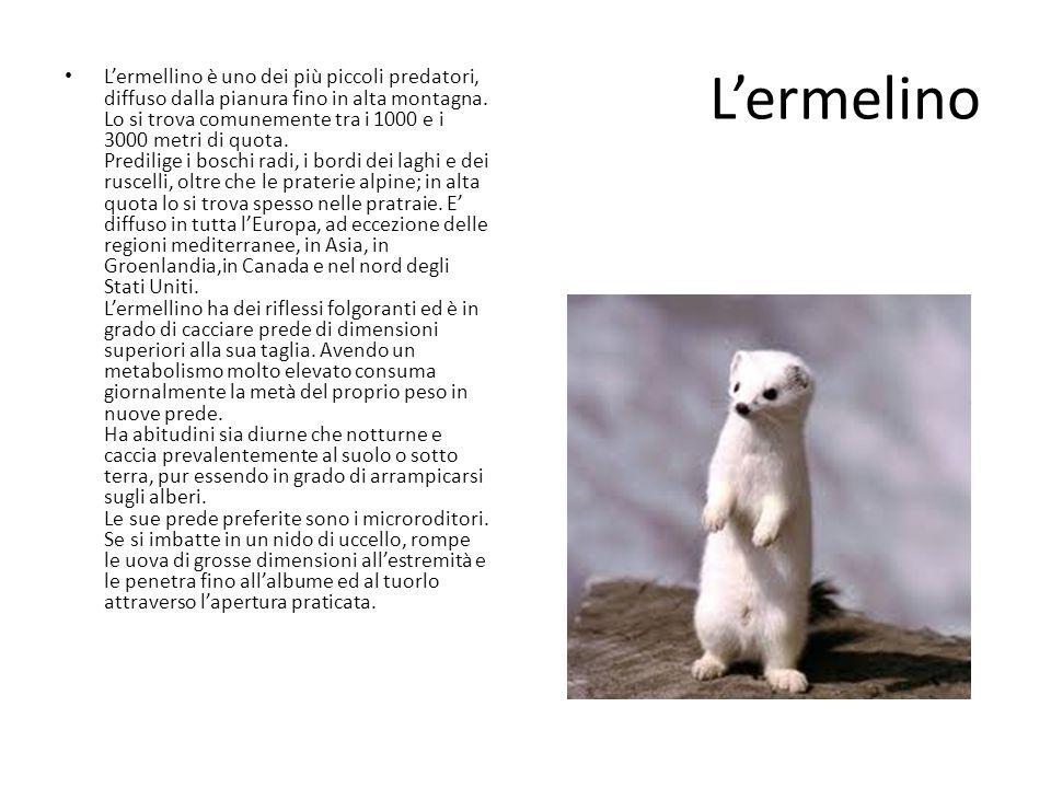 Lermelino Lermellino è uno dei più piccoli predatori, diffuso dalla pianura fino in alta montagna. Lo si trova comunemente tra i 1000 e i 3000 metri d
