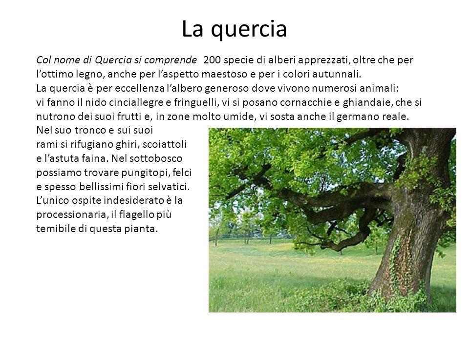 La quercia Col nome di Quercia si comprende 200 specie di alberi apprezzati, oltre che per lottimo legno, anche per laspetto maestoso e per i colori a