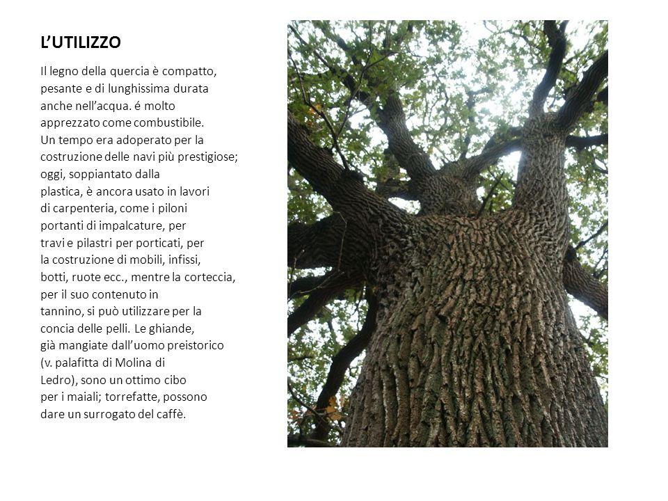 LUTILIZZO Il legno della quercia è compatto, pesante e di lunghissima durata anche nellacqua. é molto apprezzato come combustibile. Un tempo era adope
