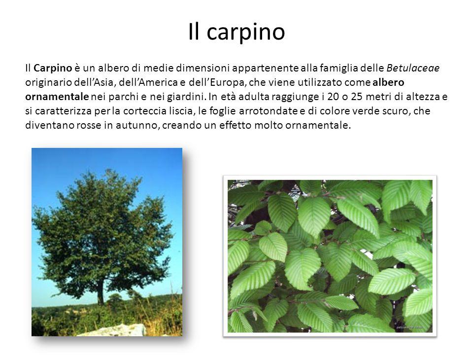 Il carpino Il Carpino è un albero di medie dimensioni appartenente alla famiglia delle Betulaceae originario dellAsia, dellAmerica e dellEuropa, che v