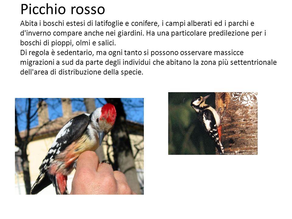 Picchio rosso Abita i boschi estesi di latifoglie e conifere, i campi alberati ed i parchi e d'inverno compare anche nei giardini. Ha una particolare