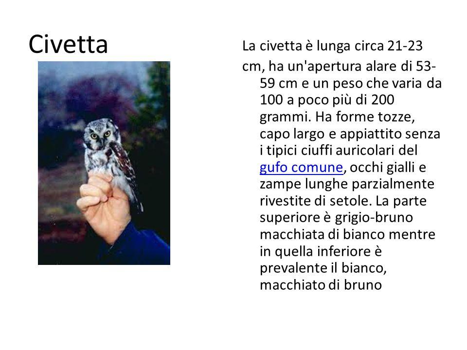 Civetta La civetta è lunga circa 21-23 cm, ha un'apertura alare di 53- 59 cm e un peso che varia da 100 a poco più di 200 grammi. Ha forme tozze, capo