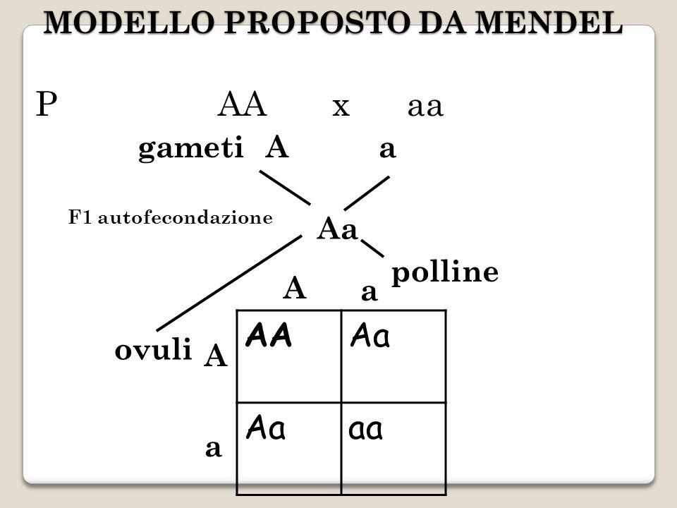 MODELLO PROPOSTO DA MENDEL P AA x aa gametiAa Aa polline ovuli AAAa aa A A a a F1 autofecondazione