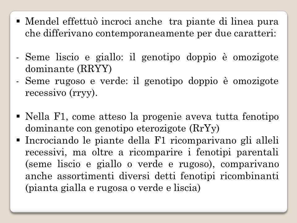 Mendel effettuò incroci anche tra piante di linea pura che differivano contemporaneamente per due caratteri: -Seme liscio e giallo: il genotipo doppio