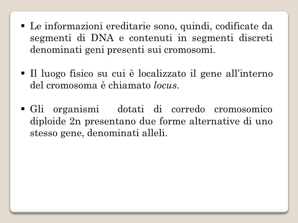 Le informazioni ereditarie sono, quindi, codificate da segmenti di DNA e contenuti in segmenti discreti denominati geni presenti sui cromosomi. Il luo
