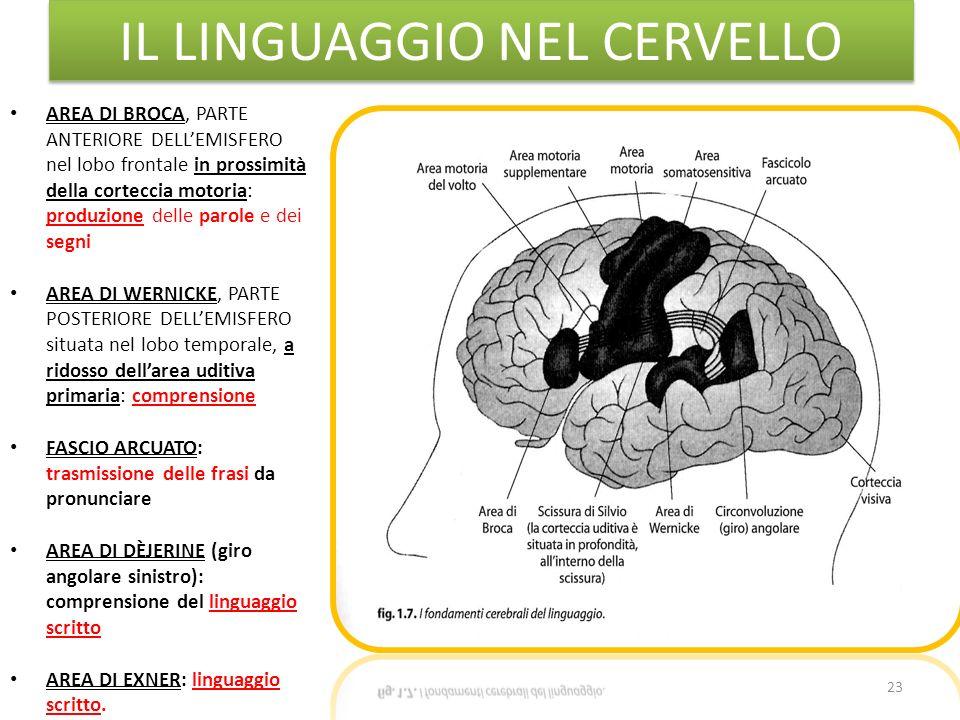 IL LINGUAGGIO NEL CERVELLO 23 AREA DI BROCA, PARTE ANTERIORE DELLEMISFERO nel lobo frontale in prossimità della corteccia motoria: produzione delle pa