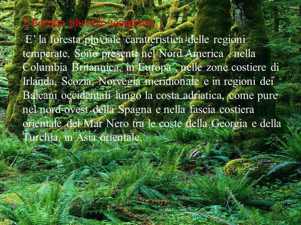 2-Foresta pluviale temperata. E la foresta pluviale caratteristica delle regioni temperate. Sono presenti nel Nord America, nella Columbia Britannica,