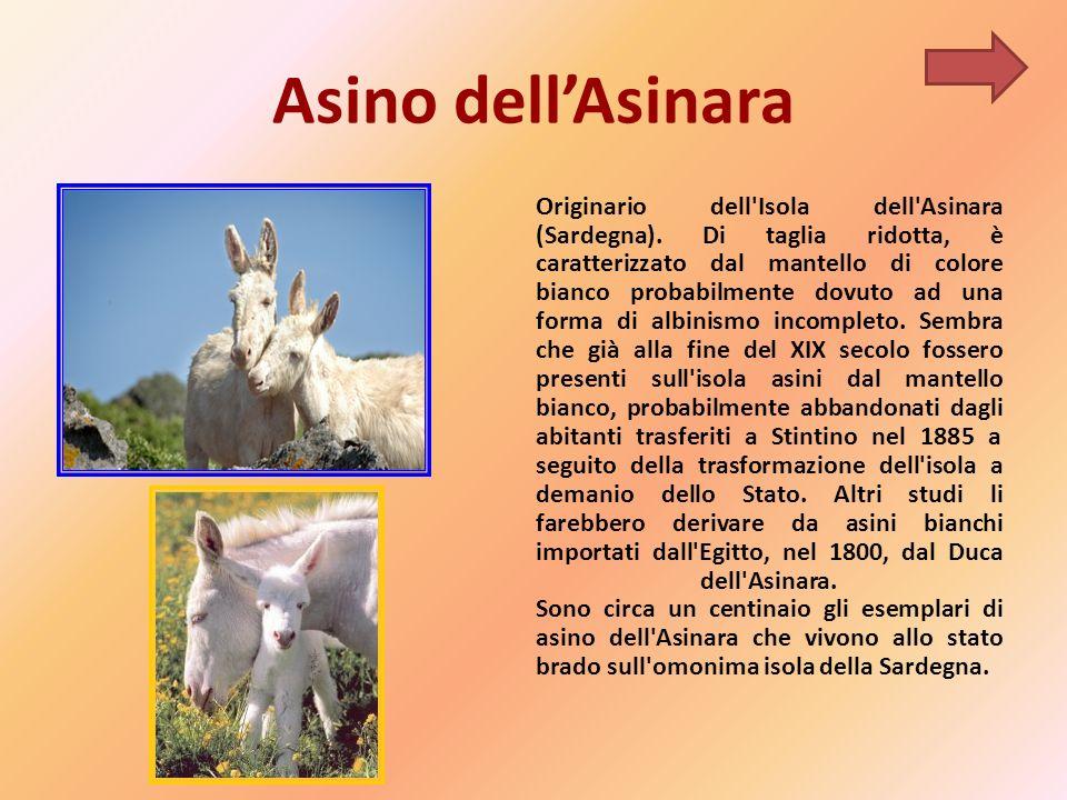 Asino dellAsinara Originario dell Isola dell Asinara (Sardegna).
