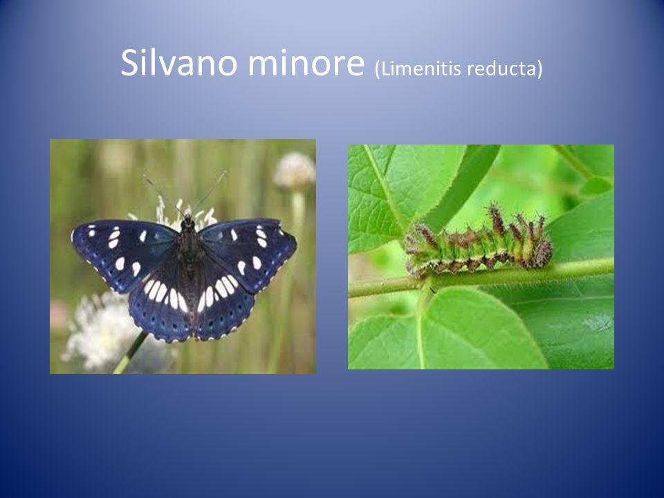 Silvano minore (Limenitis reducta)