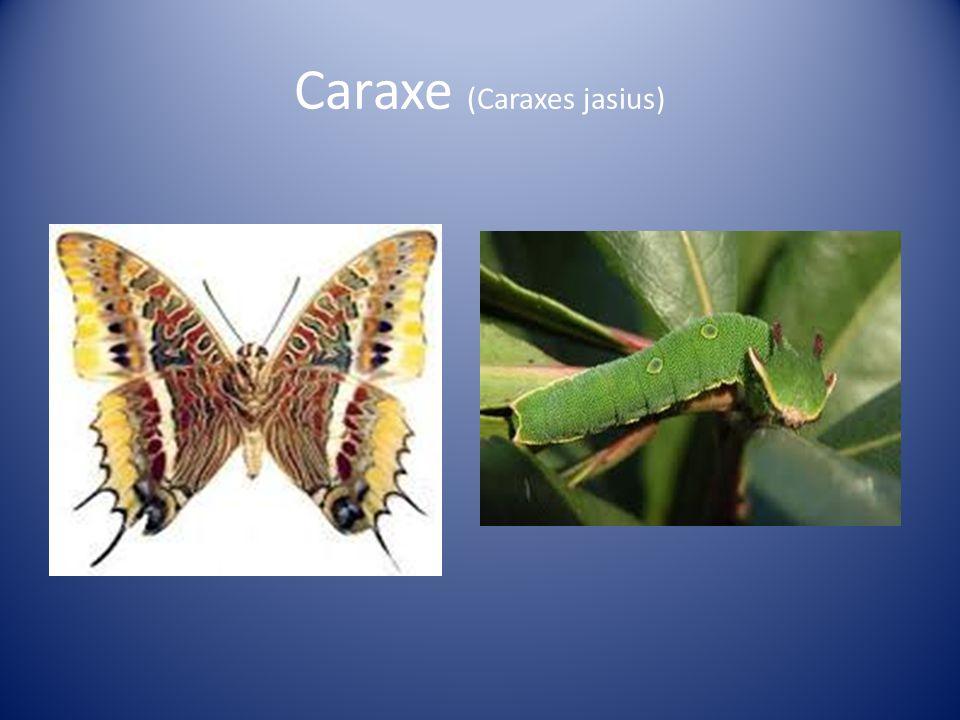 Caraxe (Caraxes jasius)