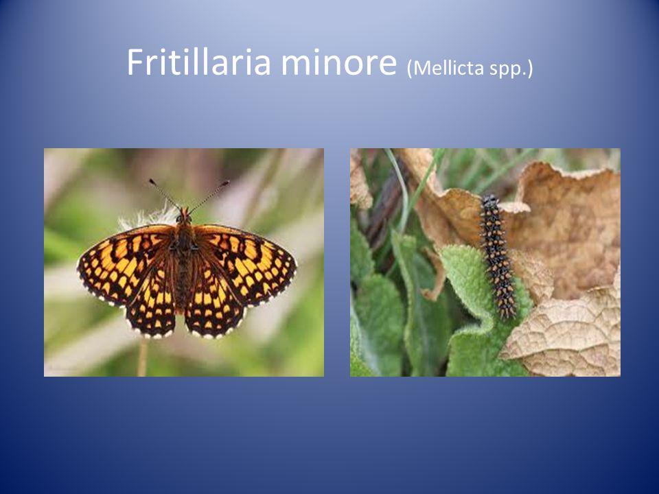 Fritillaria minore (Mellicta spp.)