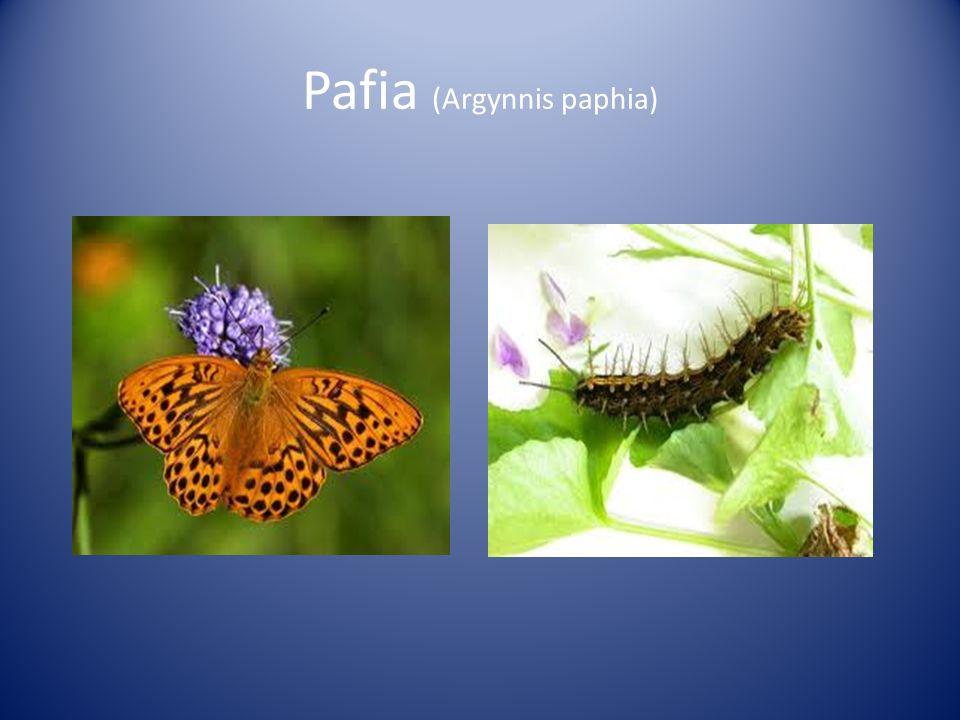 Pafia (Argynnis paphia)