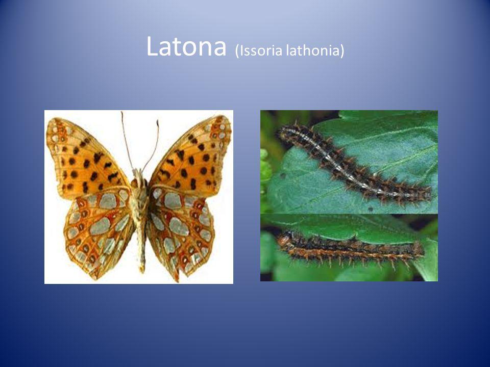 Latona (Issoria lathonia)