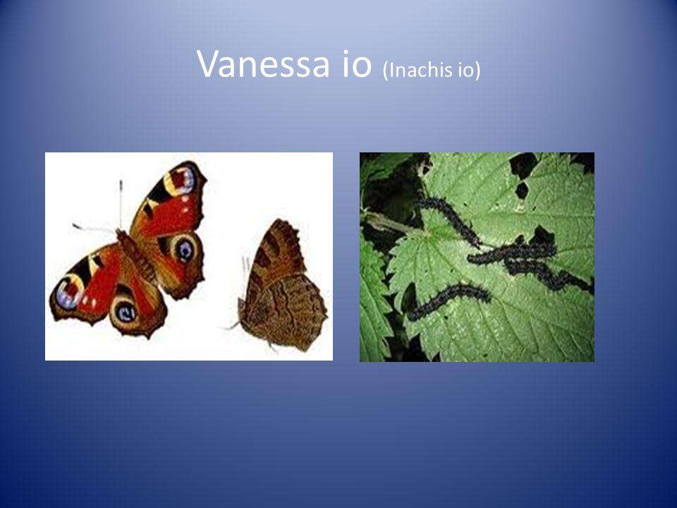 Vanessa io (Inachis io)
