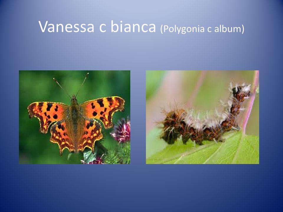 Vanessa c bianca (Polygonia c album)