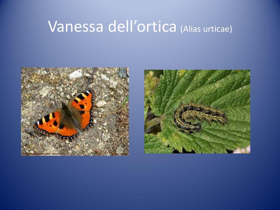 Vanessa dellortica (Alias urticae)