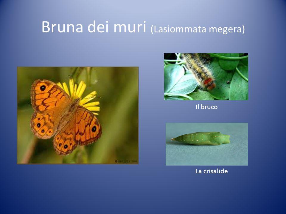 Bruna dei muri (Lasiommata megera) Il bruco La crisalide