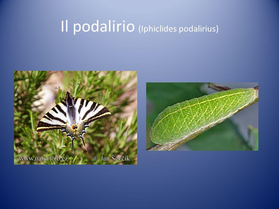 Falena colibrì (Macrogrlossum stellatarum)