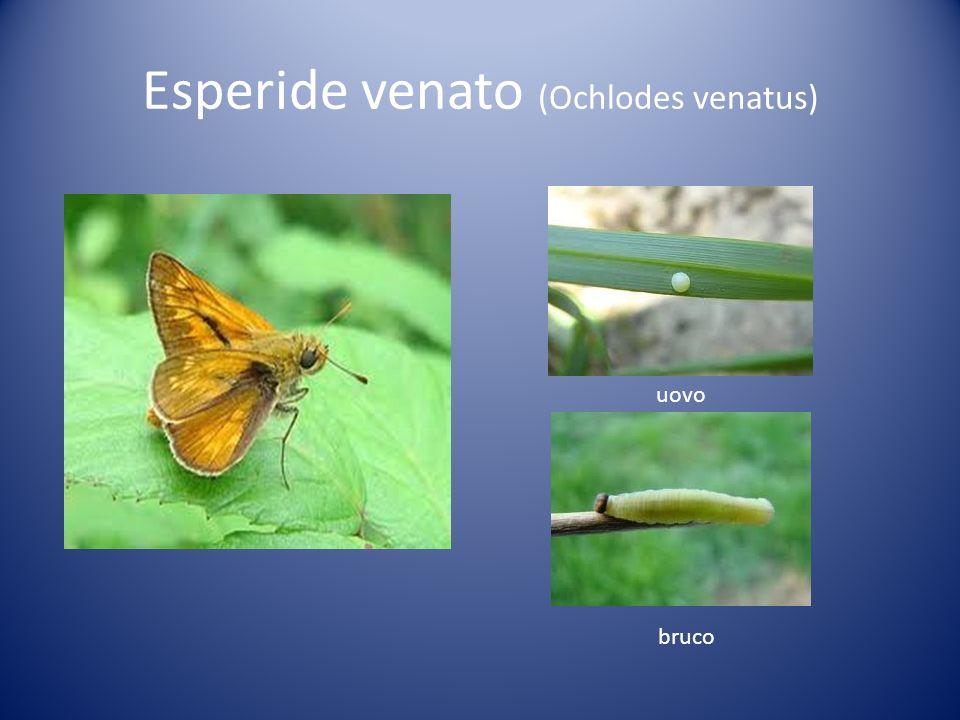 Esperide venato (Ochlodes venatus) uovo bruco
