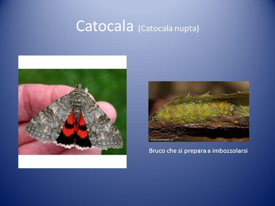 Catocala (Catocala nupta) Bruco che si prepara a imbozzolarsi