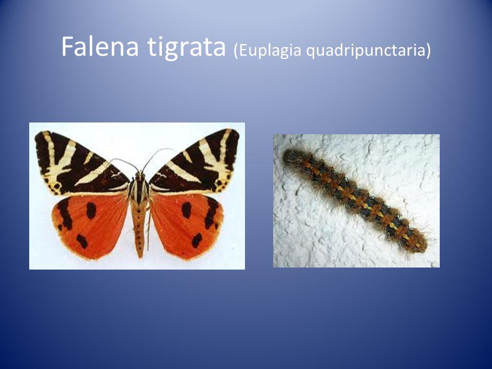Falena tigrata (Euplagia quadripunctaria)