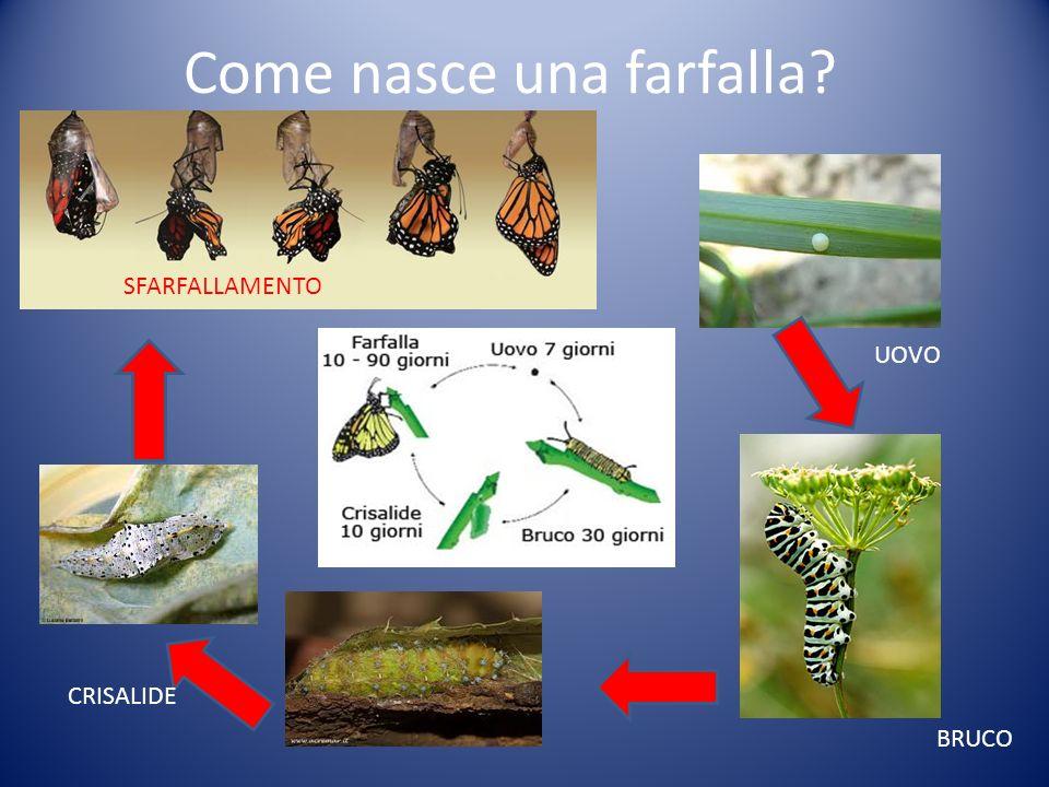 Come nasce una farfalla? BRUCO UOVO CRISALIDE SFARFALLAMENTO