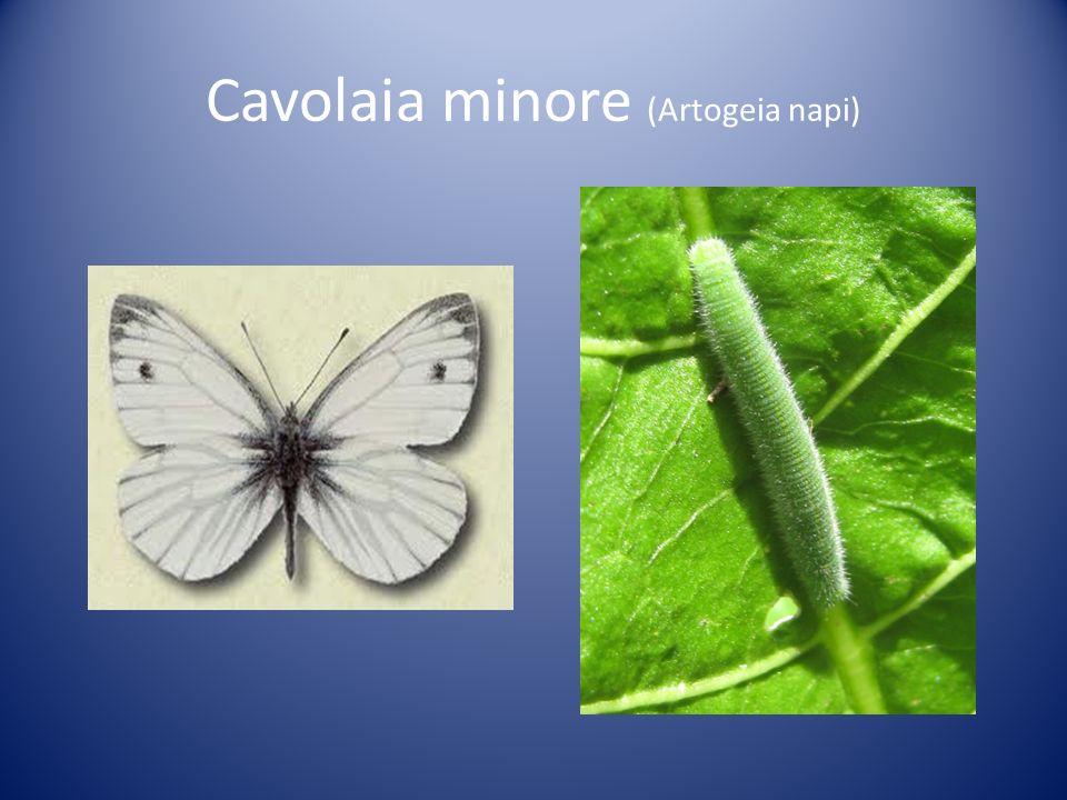 Cavolaia minore (Artogeia napi)