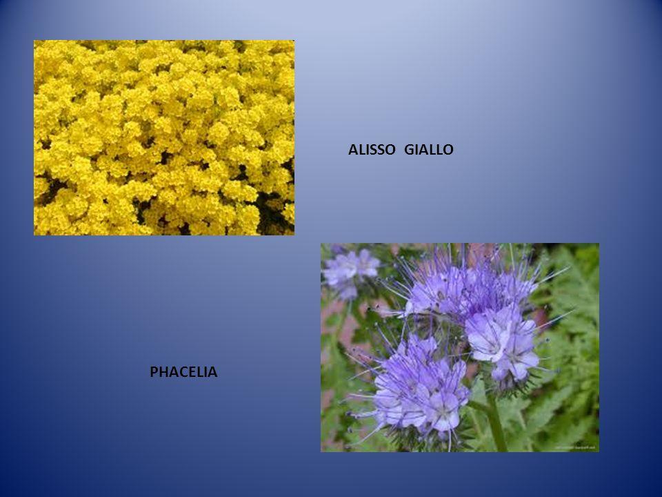 ALISSO GIALLO PHACELIA