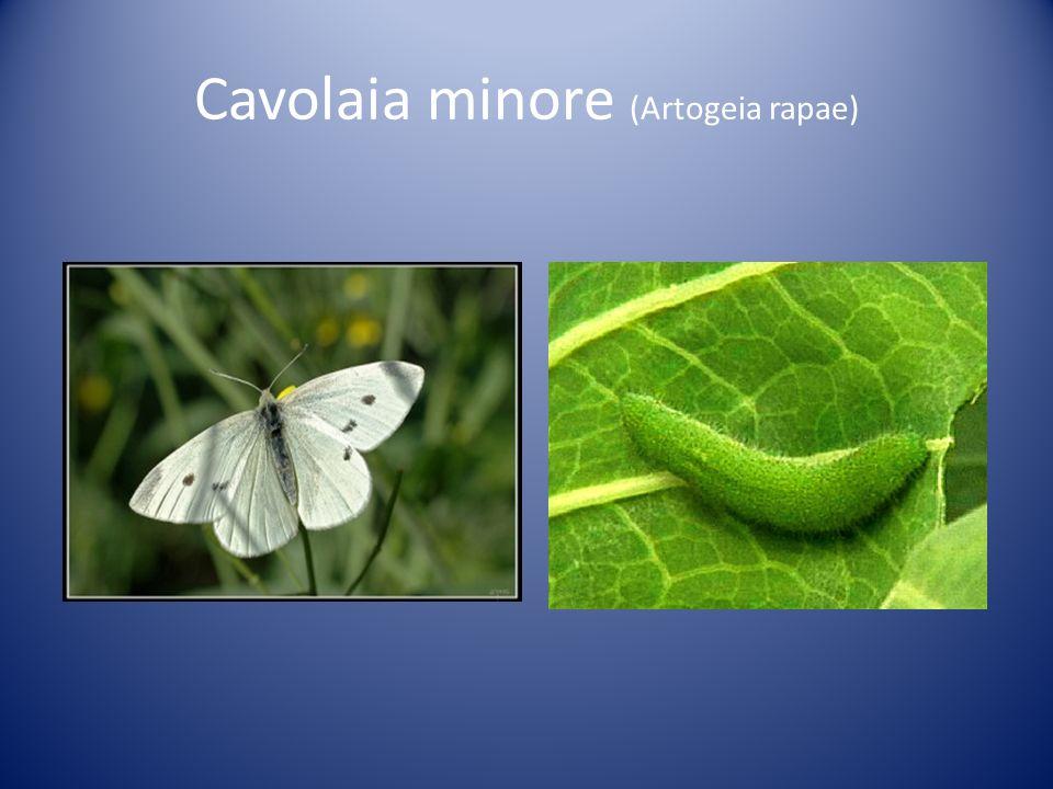 Ninfa minore (Coenonynpha pamphilius)